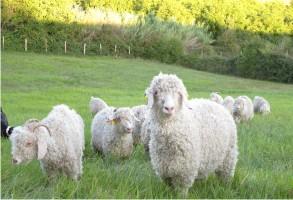 chèvres angoro produisant la laine mohair